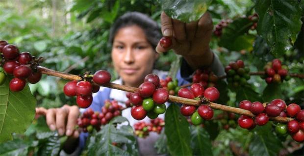 cultivo_de_cafe